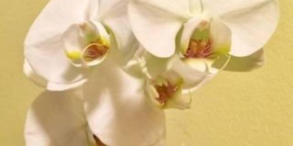 Como manter uma orquídea viva e fazê-la florescer novamente